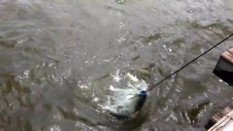 捕鱼:站桥上撒一网,收获不错