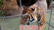 是大名鼎鼎的丛林之王老虎聪明呢?还是草原之王狮子聪明呢?