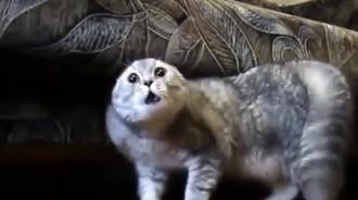 会说普通话的猫,网友:就为了拍视频,把猫弄成这样!