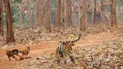 掏肛兽单挑丛林之王,在老虎面前怂成这熊样,越看越有趣!