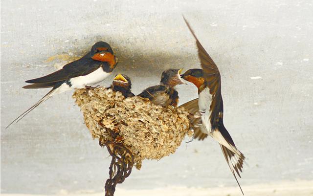 为什么人类从来不杀燕子?