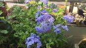 炎热的二伏天的露台也就蓝雪花开的还凑合,大家别忘了每天都要给花花浇水哦