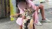 9岁女孩遛老虎如遛狗 父亲称:老虎还小