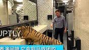 动物世界 俄罗斯7岁雌老虎口渴难耐 冲进男厕所喝水