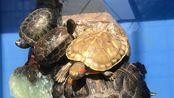 巴西龟饲养注意什么?