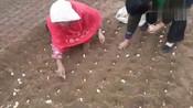 农村妈妈种蒜太疯狂,顶风冒雨,为挣几十块钱也是拼了!