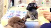 泰迪灰崽飙演技,堪称贵宾犬界奥斯卡影帝,太能演了!