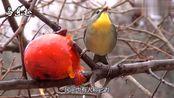 红嘴相思鸟的叫声,如黄莺出谷,娓娓动听!