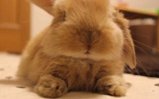【垂耳兔】一用力耳朵就...