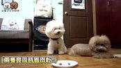 狗狗希露居然偷吃肉干,主人发现后还给了奖励!