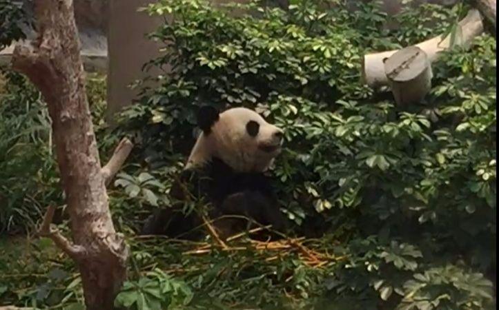 吃竹子愣住的滚滚.jpg 你是吃小可爱张大的吗?澳门大熊猫心心