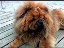 小松狮差点吃到一只苍蝇!松狮犬多少钱 http://www.52mingquan.com