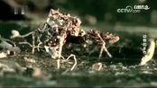 它们是灵活而熟练的猎人,堪称蛛网入侵高手