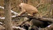 能把丛林之王逼到爬树的生物,也就它了,牛脾气白来的