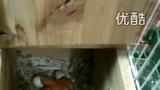 牡丹鹦鹉,鸟妈妈在照顾正在出生的孩子