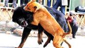 当中国藏獒遇到美国的恶霸犬,大战一触即发,镜头记录下关键时刻