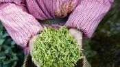明前西湖龙井金贵 5万个新鲜的嫩芽才能制成1公斤的干茶
