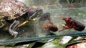 20只小龙虾pk巴西龟,究竟谁更猛?镜头记录下凶残的画面