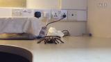 几内亚花斑螳(mega mantis) vs 红玫瑰