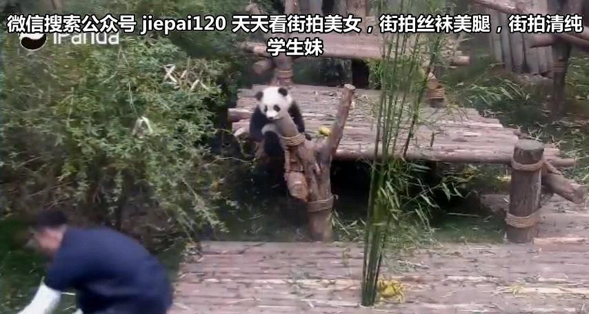 这只熊猫宝宝火了!不爱竹子爱大腿,太不正经了!不过我喜欢...