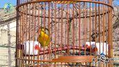 这只相思鸟虽然有点仰头,但优美的叫声依旧让人喜爱!