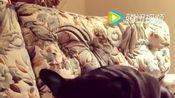 一只爱玩平板电脑游戏的法国斗牛犬,腿玩累了就用舌头,太逗了!