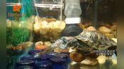 巴西龟不愧是生态杀手,祸害鱼不含糊「龟谷鳖老」