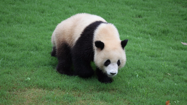 最近大熊猫抱腿大写的萌