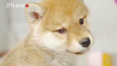 【岛国买王】网络第一神狗哪家强?分分钟被萌一脸的柴犬君!