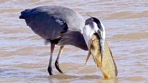 鸟吞万物,嘴大吃八方(蛇、鱼、地鼠、鸽子等)