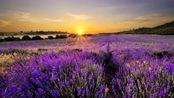 眼前是一片紫色的薰衣草庄园,真是美极了