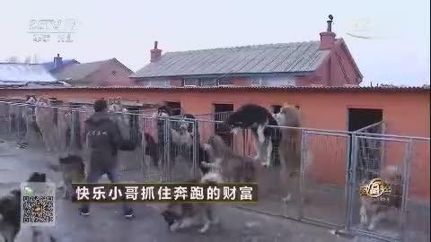 农村小伙养了一群恶狗,个个身价20万,年入1100万!