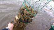 俄罗斯小龙虾泛滥成灾,随便一个地笼能捕几十斤!