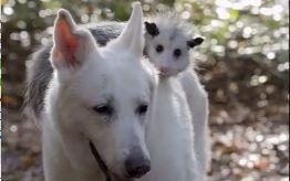 知道这个负鼠骑在德国牧羊犬背上的原因,我的心都碎了!