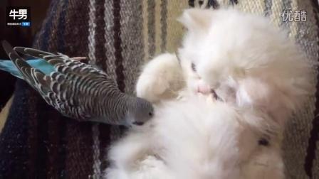 淘气鹦鹉想和波斯猫做朋友遭冷落