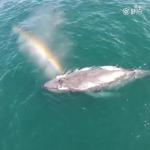 喷出彩虹的鲸鱼,见者好运[心] 更多奇闻轶事请到我的微博看看[来]