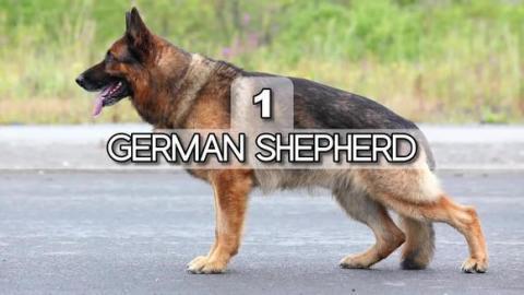 10个牧羊犬品种的排名,排名第一的是德国黑背