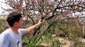 家后面小坡上中的一棵桃树,可惜错过了花期,期待秋天结出很多很多桃子来!