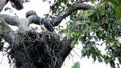角雕是鸟类的一种,它的特点就是经常叽叽咋咋叫个不停
