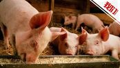 企业回应2万月薪招名校生养猪:不是真的去猪舍里养猪