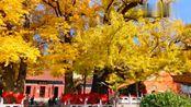 鲁山县文殊寺,千年银杏树正在开启平顶山最美的秋天!