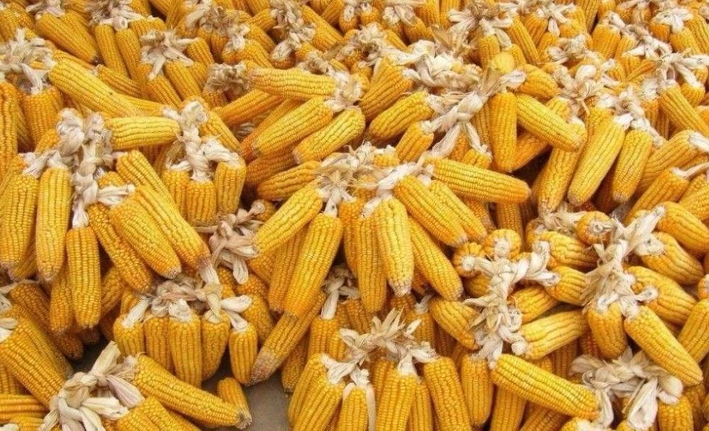 明年春节过后,玉米价格或将突破一元,可靠吗?