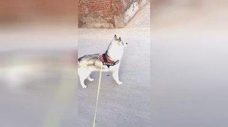 作为一只单身狗,二哈感到淡淡的忧伤