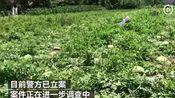2000西瓜被毁后续:数量有出入,核查后是650个西瓜被砍