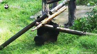 熊猫宝宝好喜欢搞破坏啊