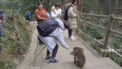 四川峨眉山灵猴,撒娇卖萌被来往游客投喂食物,腮帮子吃的鼓鼓的