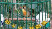 养一只相思鸟吧,干活的时候它可以唱歌给你听!
