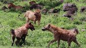 一只鬣狗不可怕,可当一群鬣狗来临,丛林之王也避之三舍