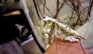 成年魔花螳螂攻击