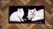布偶猫舍365ACEBABY-奶油山双布偶猫.SHIMA